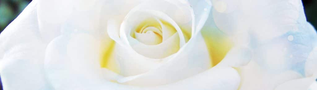 White Rose Meditation