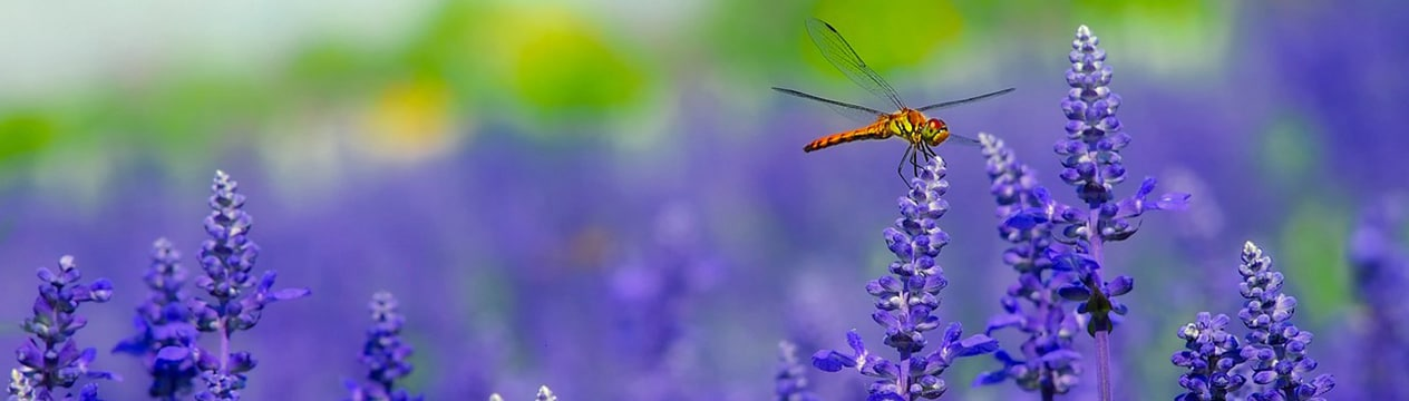 Dragonfly Symbolism-Meaning Of The